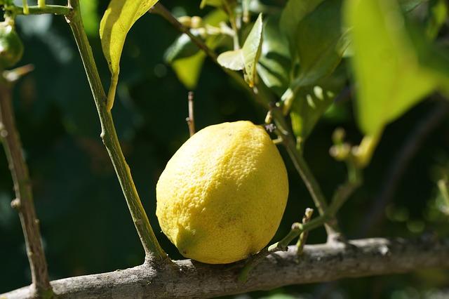 citron na větvi