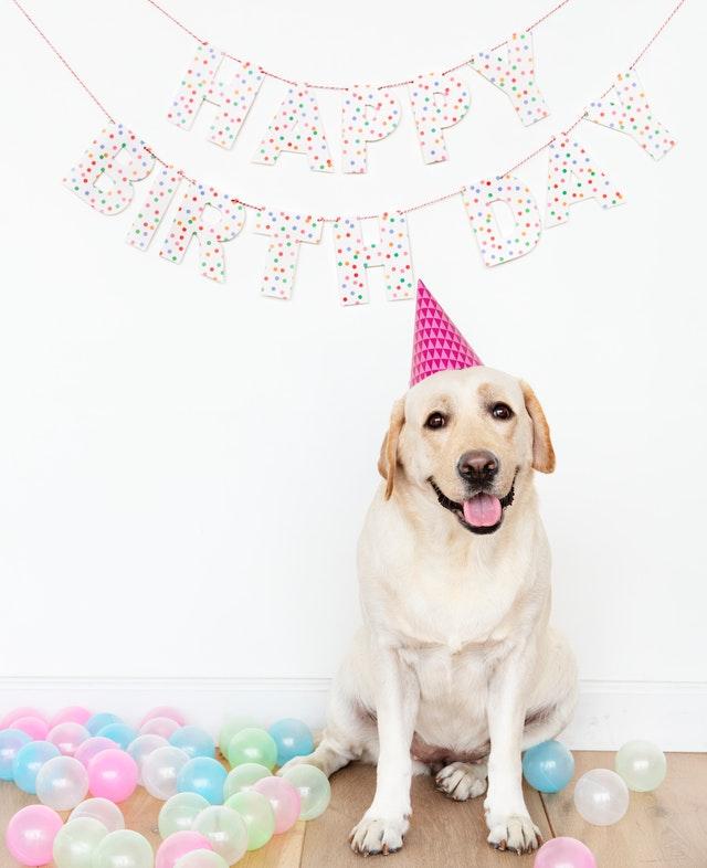 pes s čepičkou v narozeninovém
